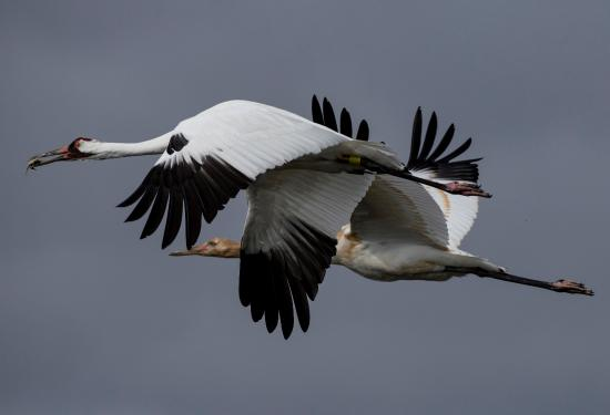 Rockport, TX: Whooping Cranes in Flight