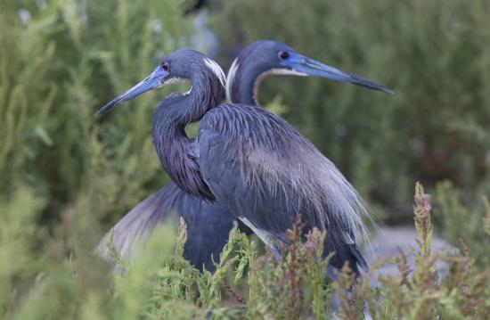 Rockport, TX: Tricolored Herons