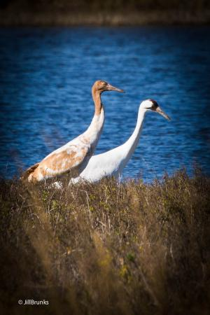 Rockport, TX: Juvenile and Adult Whooping Cranes