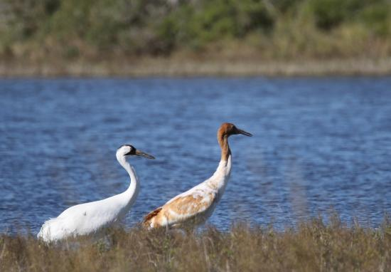 Rockport, TX: Adult and Juvenile Whooping Cranes