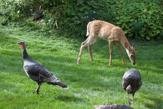 Castlegar, Καναδάς: Deer and wild turkeys enjoying the yard