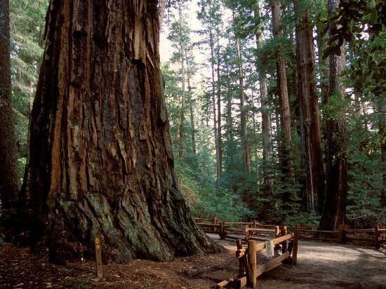 Ben Lomond, Калифорния: The redwoods of the Santa Cruz Mountains - Photo courtesy of Mark Barnes