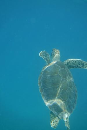 Oyster Pond, St-Martin / St Maarten: Turtle