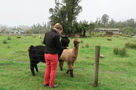 Glenfern Villas Franz Josef: alpacas