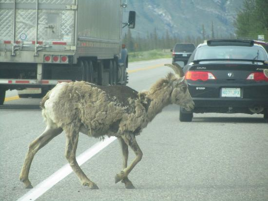 BCMInns - Hinton : Literally; wildlife on the road from Jasper to Hinton