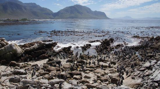 Van Den Bergs Guesthouse/B&B : Penguins at Stoney Point
