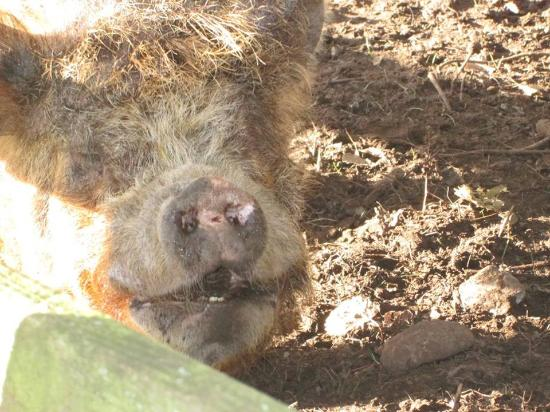 Solway Holiday Village: Pig at the Farm