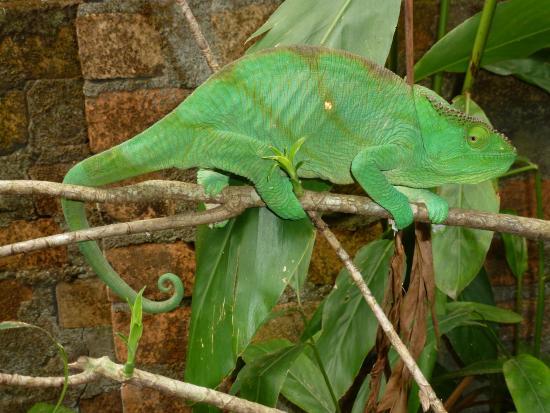 Madagascar Exotic: Chameleon - Exotic Animal Park