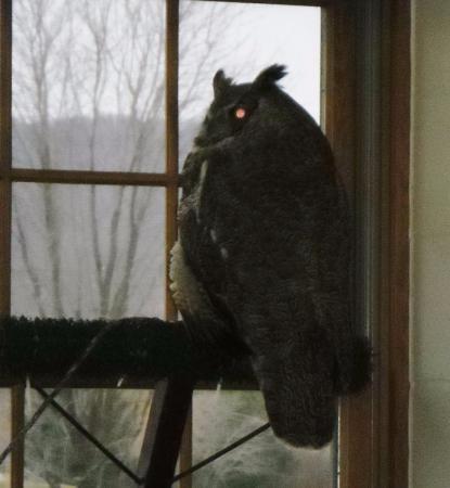 Houston, Minnesota: Alice The Great Horned Owl