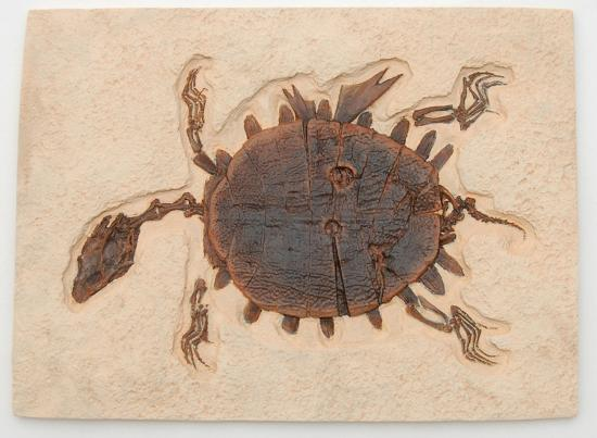 Greenwich, CT: Turtle Cast of 52-million-year-old fossil soft-shelled turtle from Fossil Lake, Green River Form