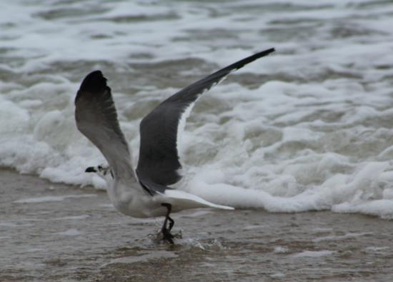 Fernandina Beach, FL: Shore Birds