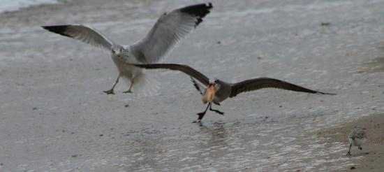 Fernandina Beach, FL: Food Fight - the little baby is running for his life...