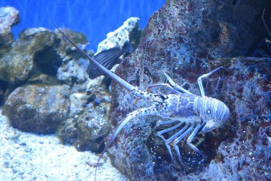 Lobsters In Aquarium Picture Of The Florida Aquarium