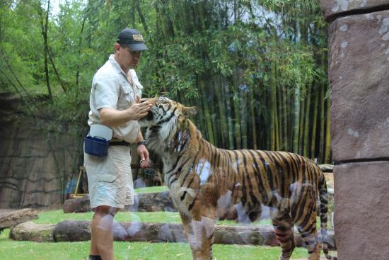 Tiger show beautiful animals picture of australia zoo - Show me a picture of the tiger ...
