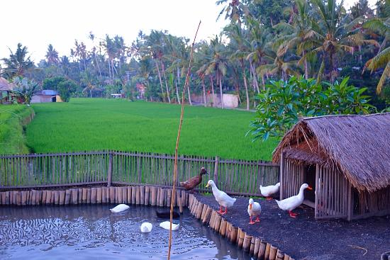 Terracotta: The duck pond in the middle of the rice field
