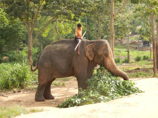 Bentota, Sri Lanka: Elefantenwaisenhaus Pinnawela Oktober 2015