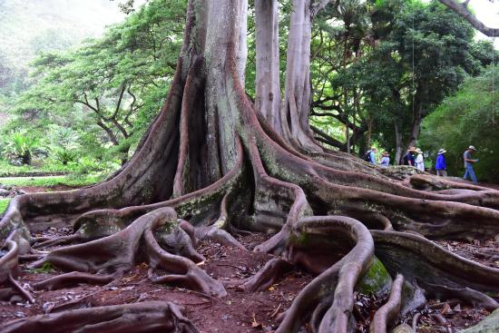 giant fig trees remember them from the 1st jurassic park movie