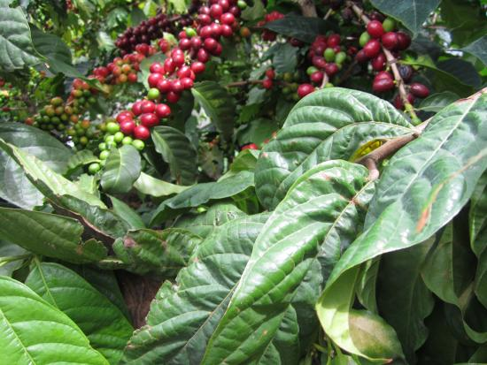 Eco Hotel Uxlabil Atitlán: Coffee Plant