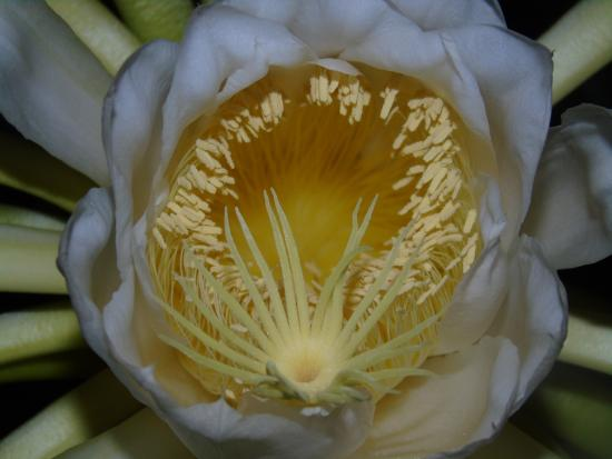 Chintheche, มาลาวี: This flower flowers once a year on full moon in the evening