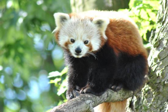 Birmingham Wildlife Conservation Park: 'Amba' our Red Panda enjoying the sunshine.