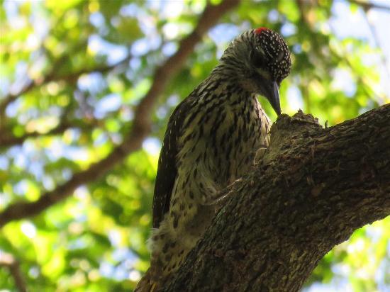 Honeywood: Knysna Woodpecker
