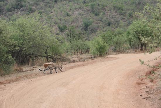 Ekala Eco Tours - Day Tours: Leopard in the early afternoon