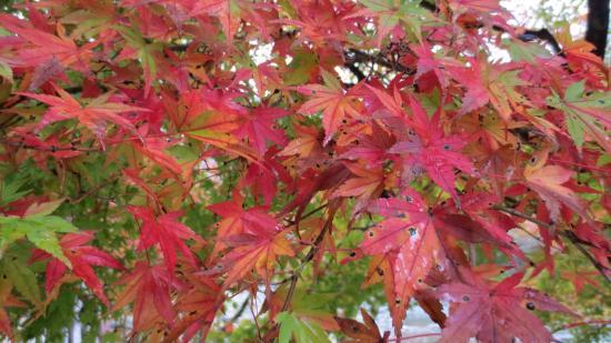 Aichi Prefecture, Japan: The Autumn Red Maple Leaves , Korankei