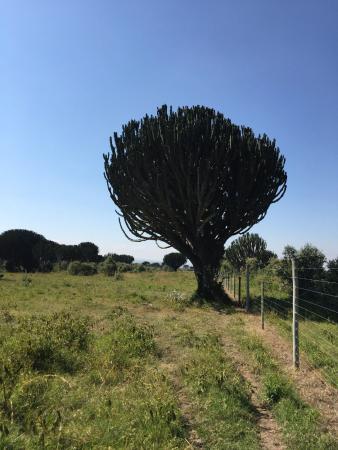 Gilgil, Кения: Euphorbia