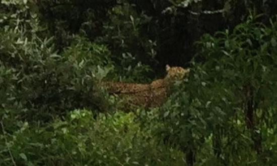 Gilgil, Кения: Leopard