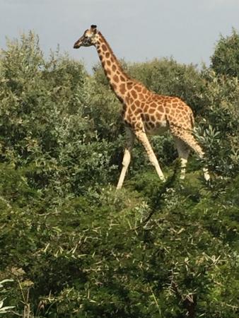 Gilgil, Кения: Daudi - Rothschild Giraffe