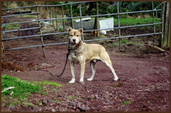 Vila Franca do Campo, Portugal: SAn Miguel Cattle Dog - Handsome & Powerful