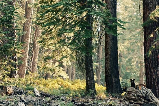 Shaver Lake, Калифорния: Bear Spotting on Kaiser Pass Road