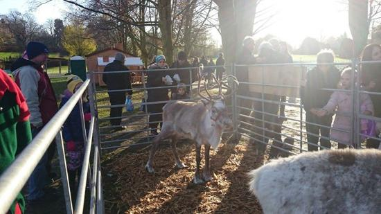 Ixworth, UK: Reindeer at Xmas market