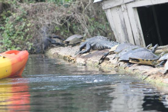 BK Adventures: Alligators - Silver River Kayak Tour - Florida