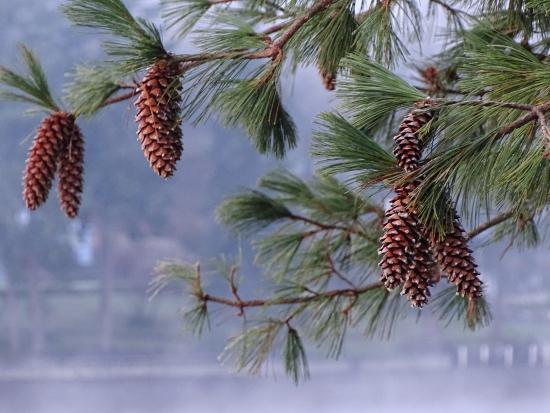 Shelton, WA: Pine cone fun