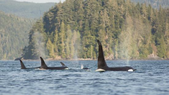 Heriot Bay, Canada: Orcas near camp