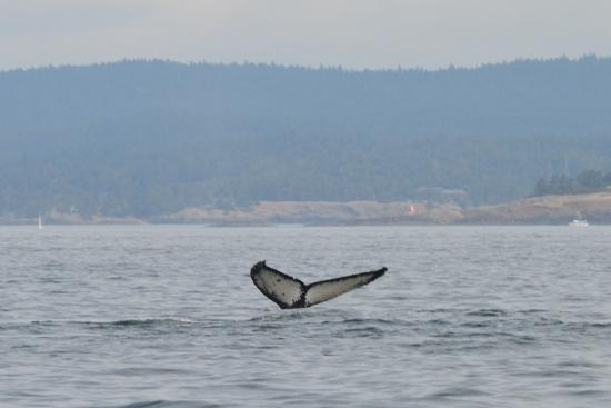 Puget Sound Express - Day Trips: Humpback