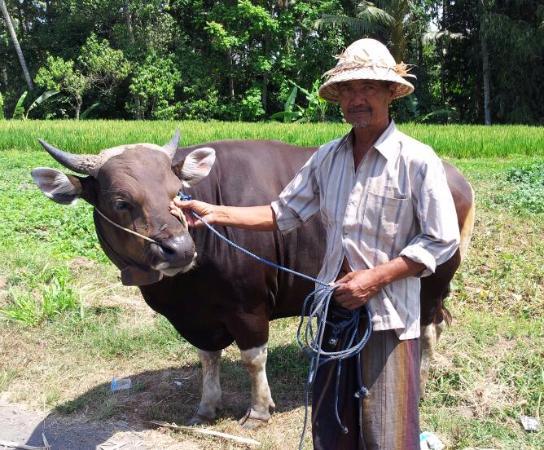 Jigalow Bull in Pejeng Kangin