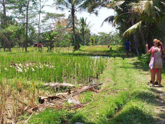 Pejeng, อินโดนีเซีย: Rice field trek at Swallow Guesthouse