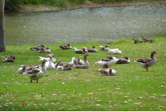 Serafino McLaren Vale: Ducks Galore!