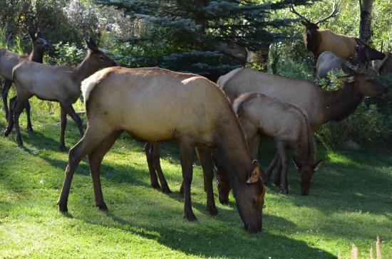 Boulder Brook on Fall River: Elk at Boulder Brook