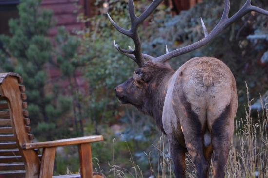 Boulder Brook on Fall River: Bull elk by one of Boulder Brook's benches