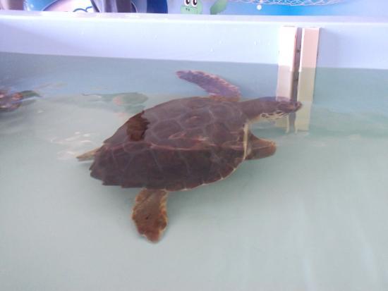 ริชชีโอเน, อิตาลี: Una delle tartarughe prese in cura dall'ospedale