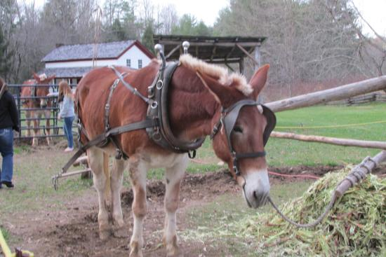 Townsend, TN: Horse taking a break from making molasses.