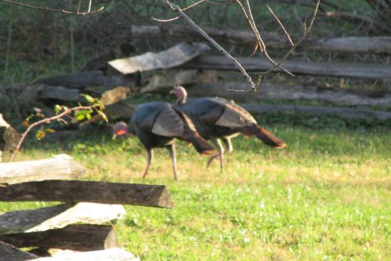 Townsend, TN: Wild Turkeys.