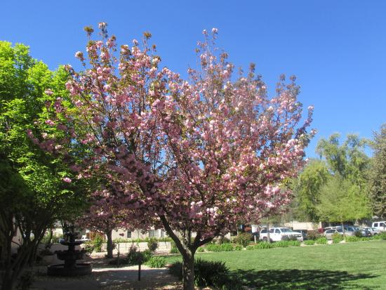 WorldMark Clear Lake: Cherry Blossoms in bloom