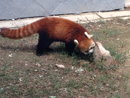 Panda World: Red Panda.