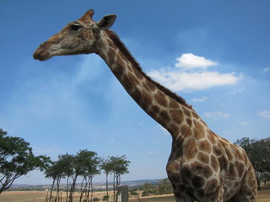 Wildside Tent Camp Lion Park: В гости пришел жираф