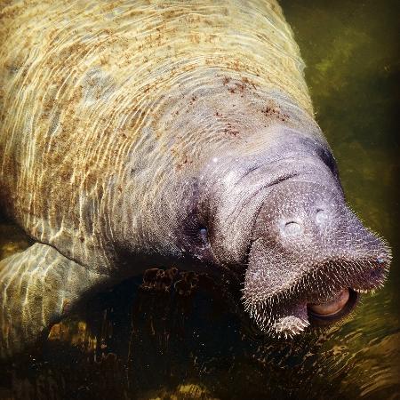 Reef Resort: friendly manatee visit