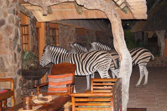 Blyde River Canyon Lodge: Zebras am Küchenfenster